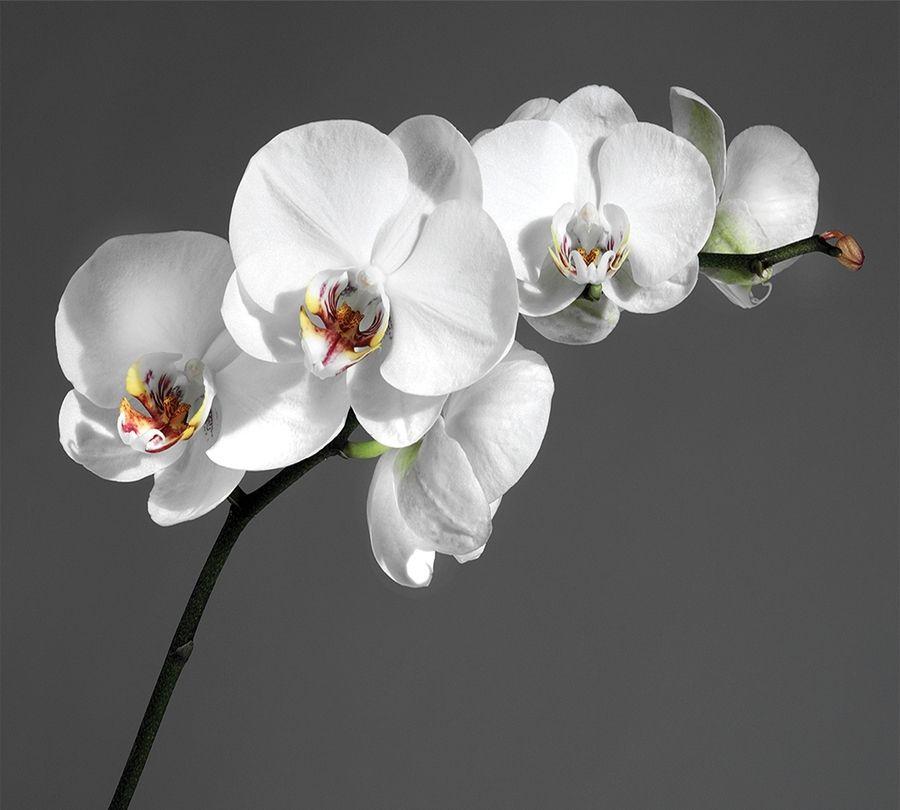 Фотошторы «Белая орхидея на сером фоне» вид 1