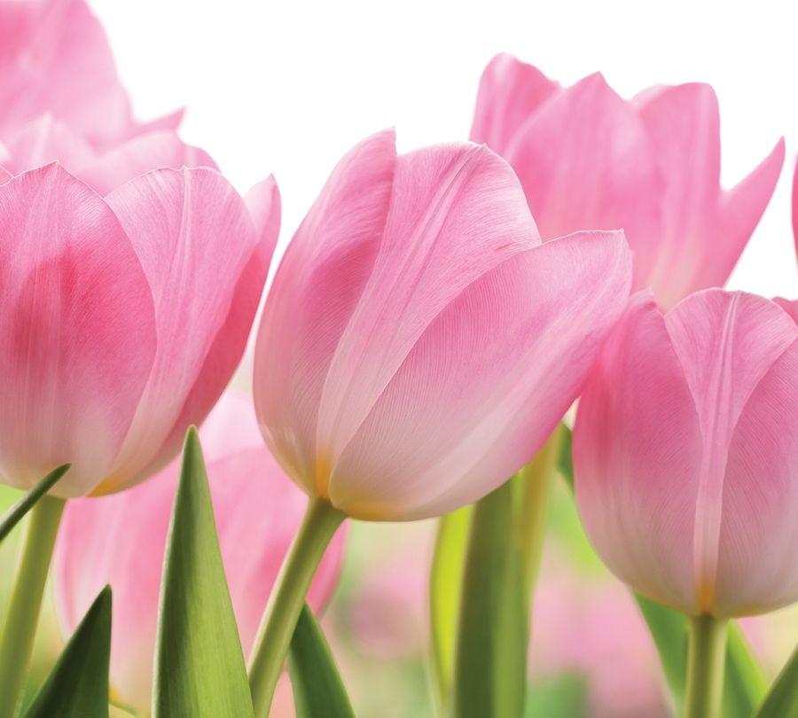 Фотошторы «Крупные розовые тюльпаны» вид 1
