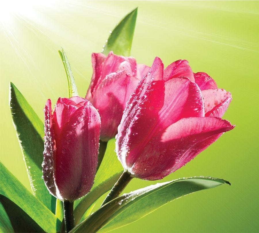 3D Фотообои Фотошторы «Тюльпаны на зеленом фоне»
