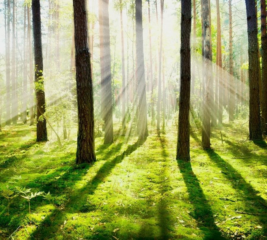 Фотошторы «Солнечный лес» вид 1