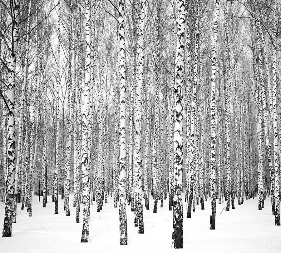 Фотошторы «Березы зимой» вид 1