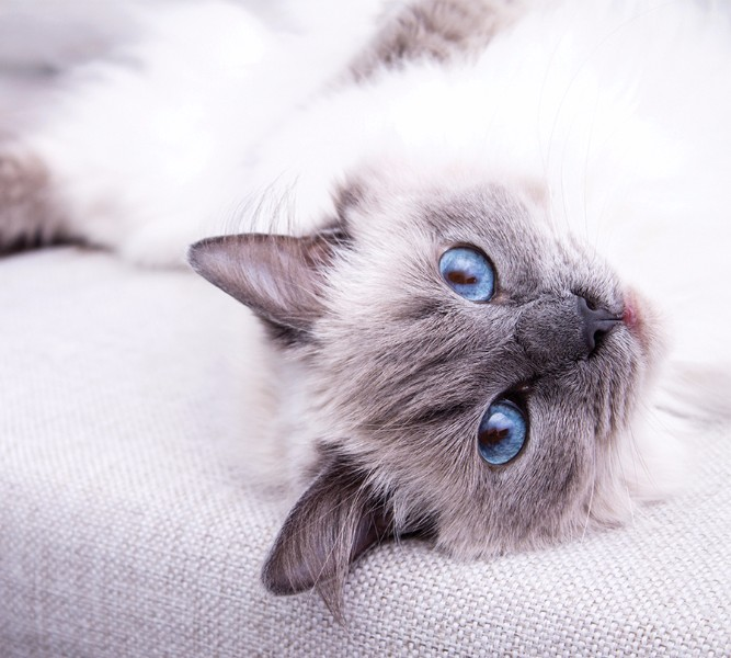 Фотошторы «Голубоглазая кошка» вид 1