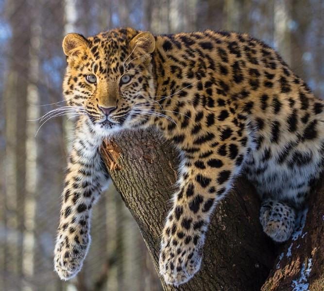 Фотошторы «Амурский леопард» вид 1