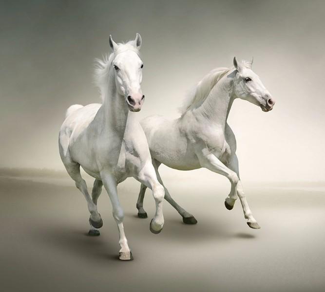 Фотошторы «Белые лошади на сером фоне» вид 1