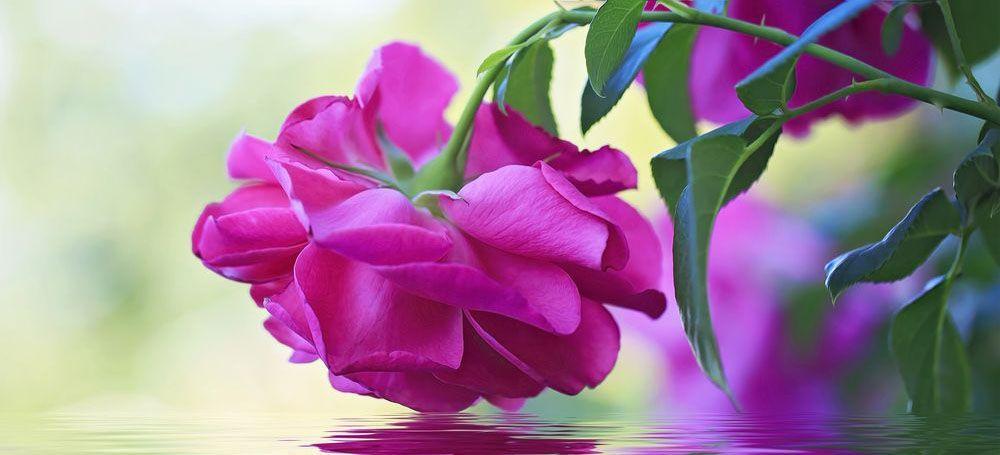 Модульная картина «Роза в отражении воды»