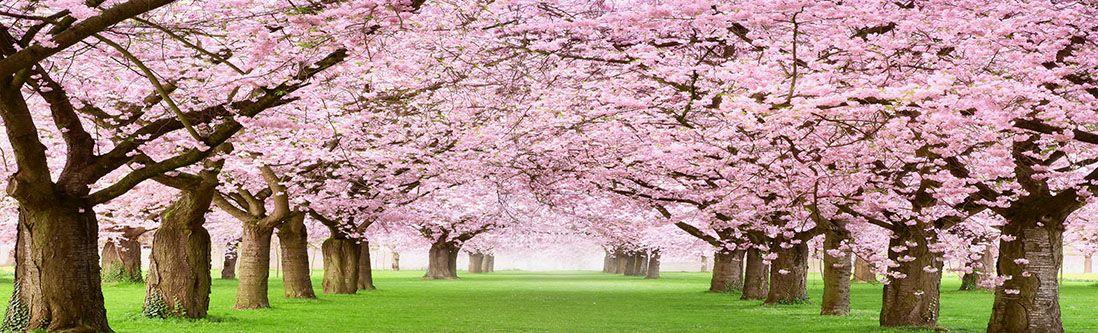 Модульная картина «Цветущие деревья вишни»