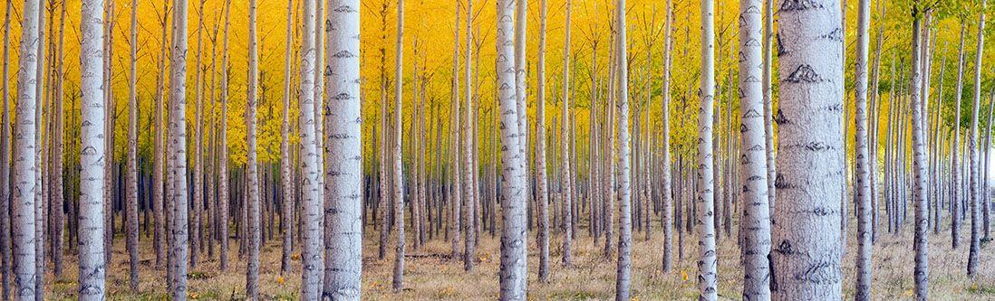 Модульная картина «Березы осенью»