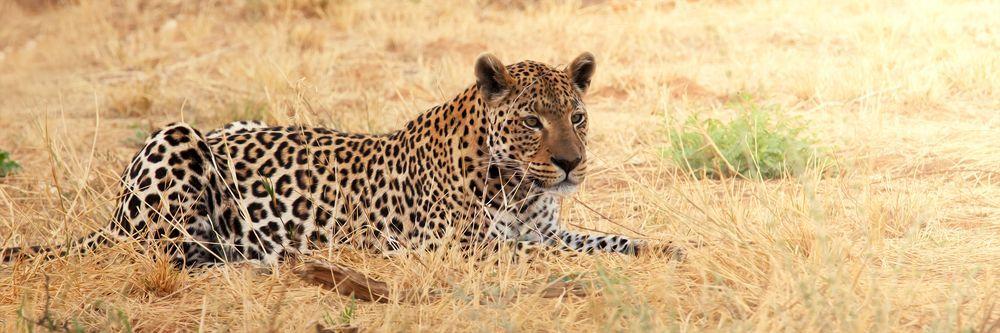Модульная картина «Леопард»