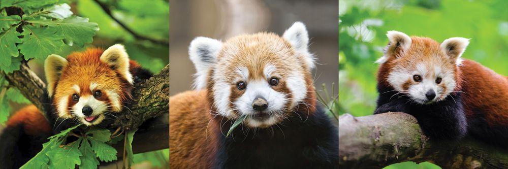 Модульная картина «Малая панда»