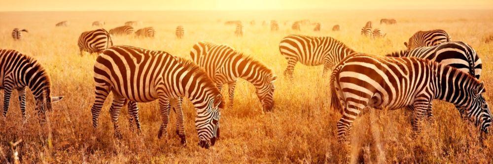 Модульная картина «Зебры на лугу ранним утром»