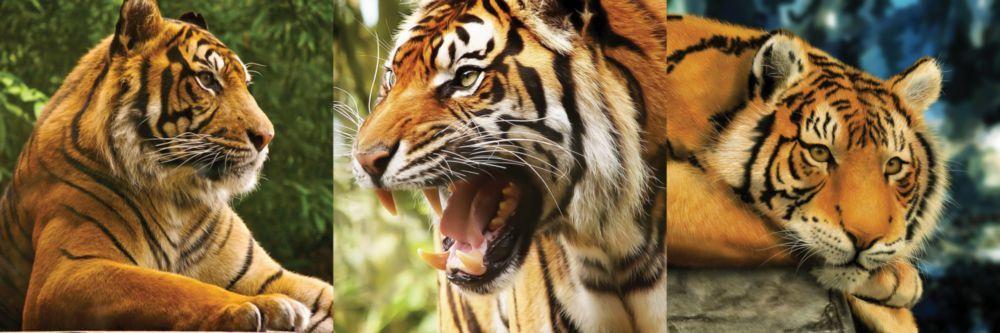 Модульная картина «Тигриный оскал»