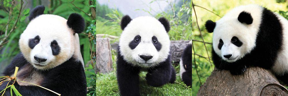 Модульная картина «Панды»