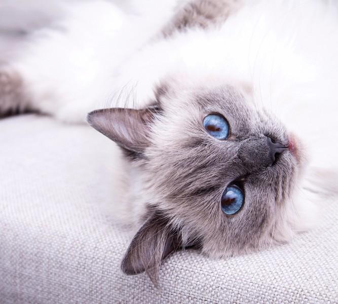Штора для ванной «Голубоглазая кошка» вид 2