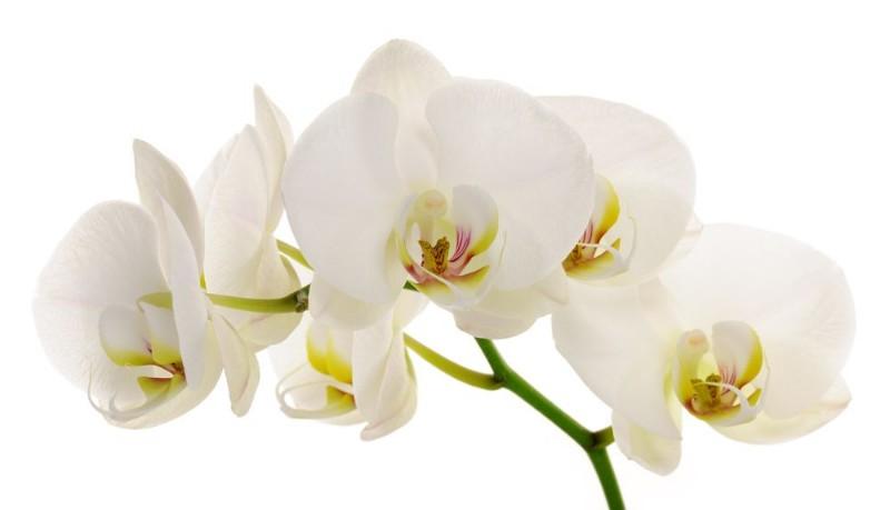 3D Фотообои «Нежная белая орхидея»