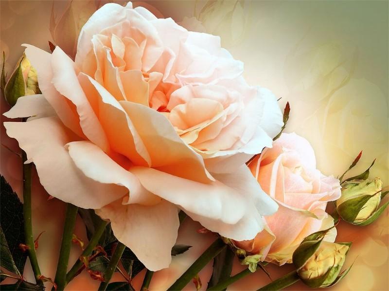 3D Фотообои  «Персиковая роза»