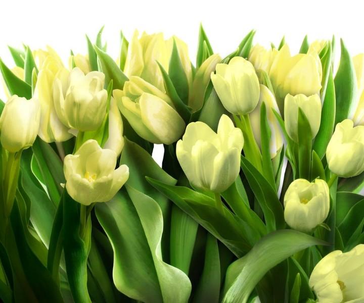 3D Фотообои «Нежные желтые тюльпаны»