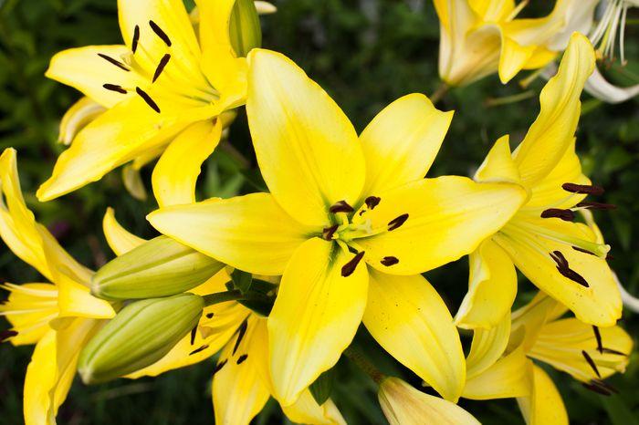 3D Фотообои 3D Фотообои «Яркие желтые лилии»