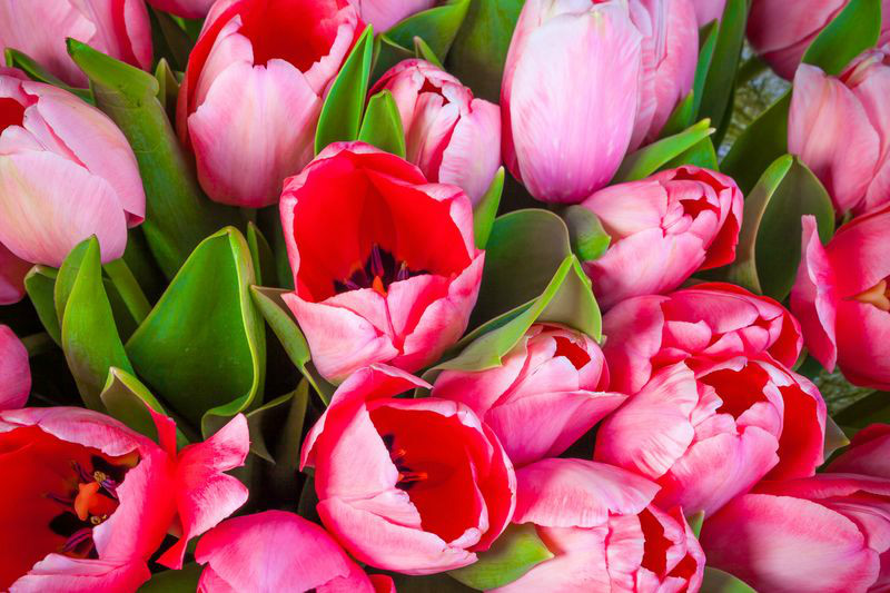 3D Фотообои «Букет тюльпанов»