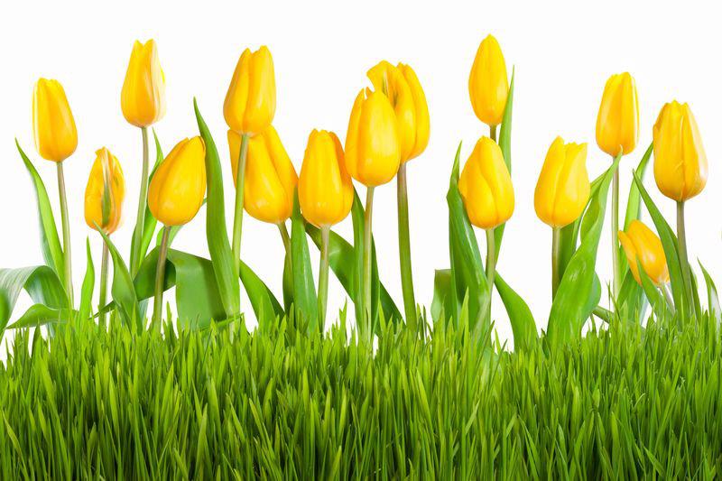3D Фотообои 3D Фотообои «Желтые тюльпаны»
