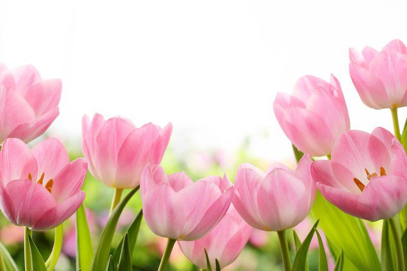 3D Фотообои «Нежные розовые тюльпаны»