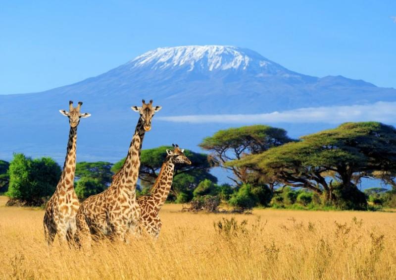 3D Фотообои «Жирафы в саванне»