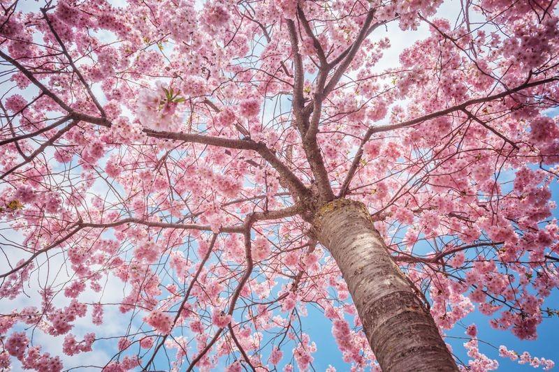 3D Фотообои 3D Фотообои «Небо над цветущей сакурой»