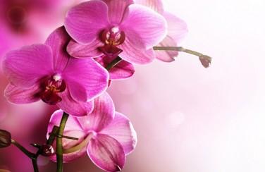 3D Ковер «Розовая орхидея на нежном фоне»