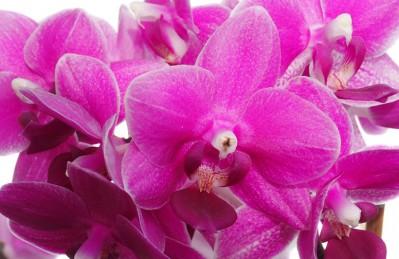 3D Ковер «Ярко-розовые орхидеи»