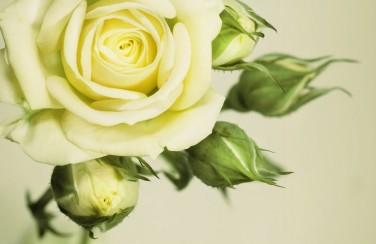 3D Ковер «Бежевая роза»