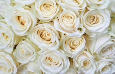 3D Ковер «Нежные кремовые розы»
