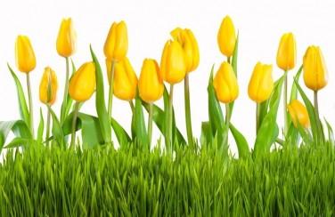 3D Ковер «Желтые тюльпаны»