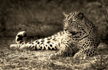 3D Ковер «Леопард сепия»