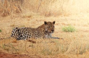 3D Ковер «Леопард»