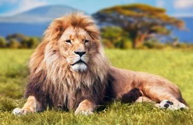 3D Ковер «Лев»