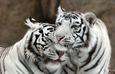 3D Ковер «Тигриная нежность»
