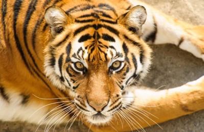 3D Ковер «Тигриный взгляд»
