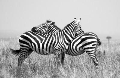 3D Ковер «Влюбленные зебры»
