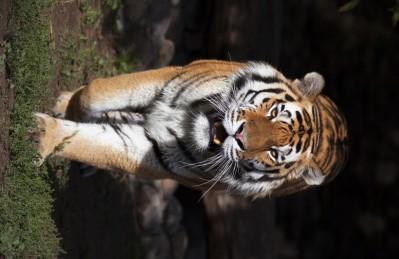 3D Ковер «Тигриная поступь»