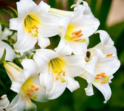 Фотошторы «Белые лилии»