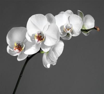 Фотошторы «Белая орхидея на сером фоне» 3D Фотошторы