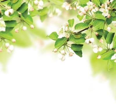 Фотошторы «Цветы яблони»