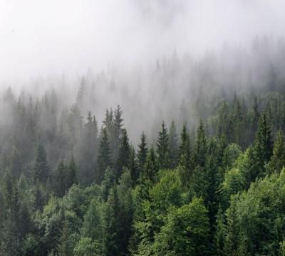 Фотошторы «Утро в хвойном лесу»