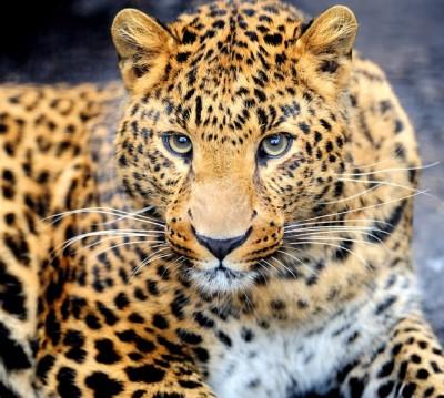 Фотошторы «Красивый леопард»