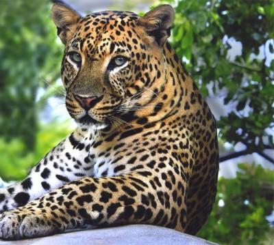 Фотошторы «Отдыхающий леопард»
