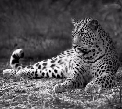 Фотошторы «Черно белый леопард»