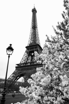 3D Фотообои «Цветущие деревья в Париже»