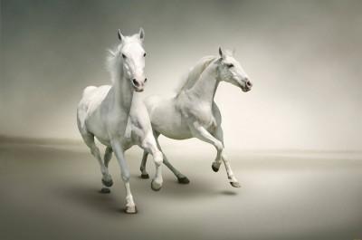 3D Фотообои «Белые лошади на сером фоне»