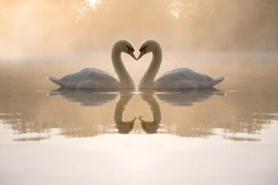 3D Фотообои «Влюбленные лебеди»