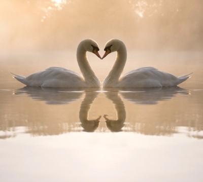 Фотошторы «Влюбленные лебеди»