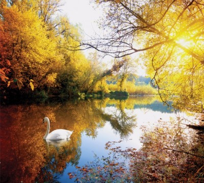 Фотошторы «Лебедь в осеннем озере»